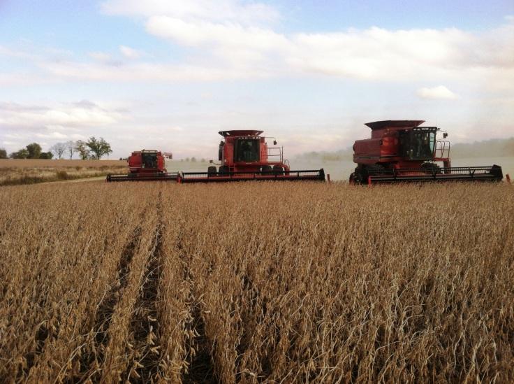 bean harvest 1